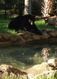 Josh the Bear at Flamingo Gardens