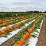 Bedner's Pumpkin Patch
