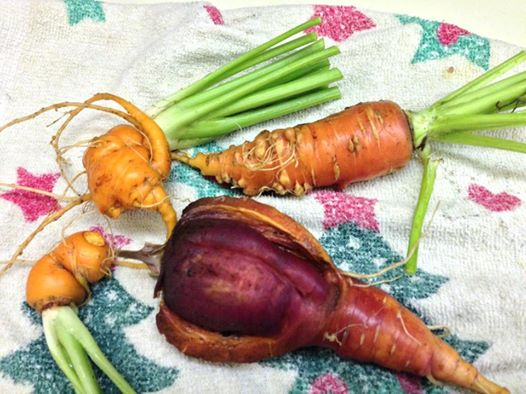 Seriously Ugly Home Grown Carrots