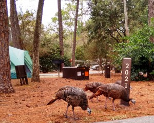 Wild Turkeys Fort Wilderness Campgrounds at Disney World