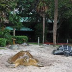 Turtles at Gumbo Limbo
